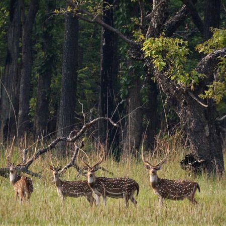 Four antelope in Bardiya National Park, Nepal