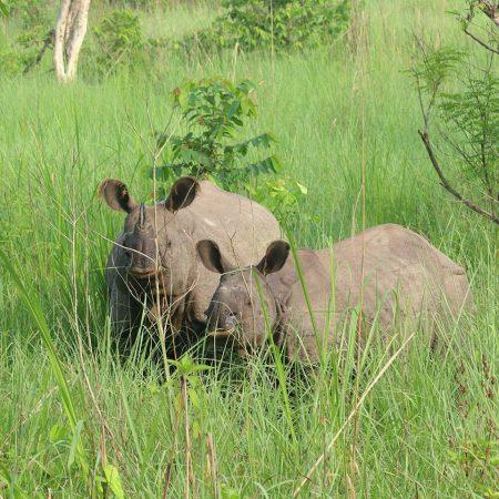 Two rhinos in Bardiya National Park, Nepal