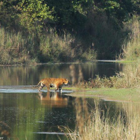 Tiger walking in river in Bardiya National Park, Nepal