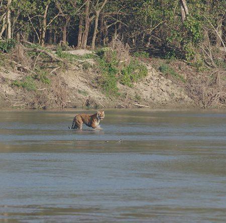 Tiger swimming in Rapti river in Chitwan National Park, Nepal