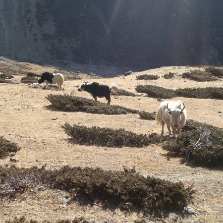Cattles in Samdo (Manaslu Trek)