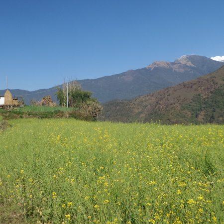 Mustard field in Sikles village